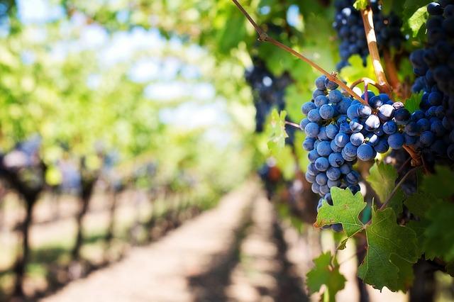 Foto de um vinhedo, mostrando cepas de uvas.