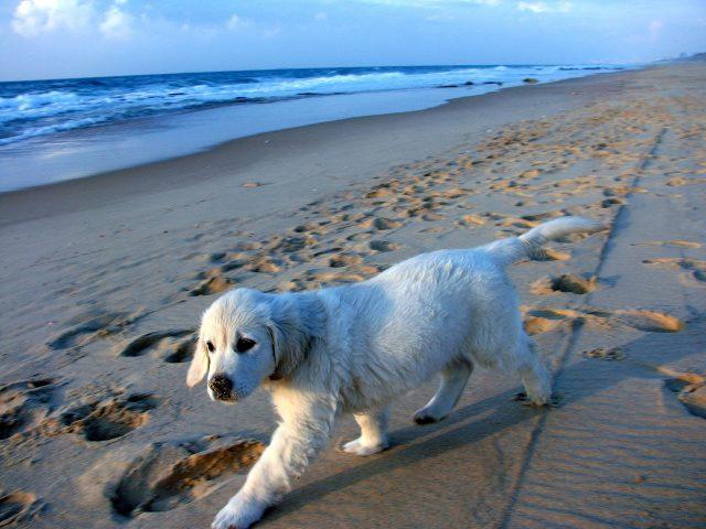 Foto de um cachorrinho andando na praia